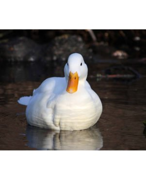 Multicoloured White Duck Wall Poster